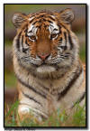 Amur Tiger Portrait