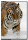 Amur Tiger in a Snowstorm