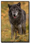 Gray Wolf in Fall Colors