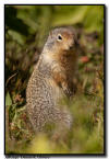 Columbian Ground Squirrel, Glacier NP