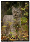 Lynx Kitten with Fall Colors