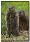 Woodchucks, Minnesota